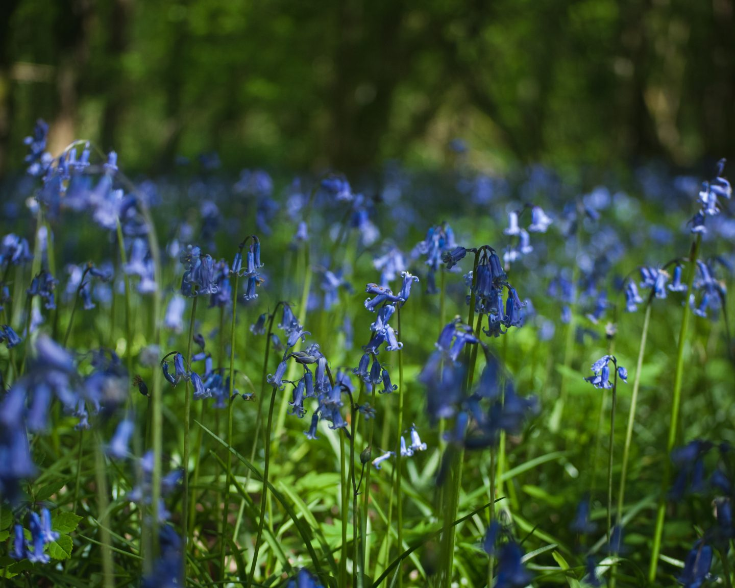 Bluebells | Clanger Wood